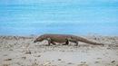 Đến Indo 'săn' rồng Komodo