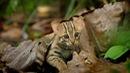 Loài mèo nhỏ nhất thế giới