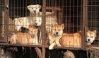 Người Hàn Quốc có chấm dứt ăn thịt chó sau Olympic 2018?