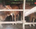 Thả rông trâu, bò bị dịch lở mồm long móng