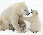 Ảnh mẹ con gấu Bắc cực