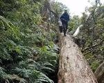 Khởi tố thêm hai kiểm lâm vụ phá rừng pơmu ở Nghệ An