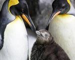 Cặp đôi chim cánh cụt đồng tính gây