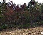 Hơn 600 cây thông tại Lâm Đồng lại bị đầu độc