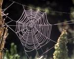 Vì sao tơ nhện mỏng nhưng mạnh hơn thép?