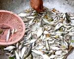Những mùa cá đồng miền lũ - Kỳ 1:  Hiện tại và ký ức