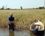 Sông Tiền xâm nhập mặn tới 90 km, ĐBSCL thiếu nước ngọt trầm trọng