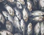 Cá chết trắng ở hồ điều hòa Cửa Nam, Nghệ An