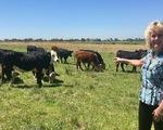 Thịt bò chỉnh sửa gen có dễ ăn?