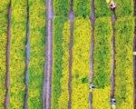 Cánh đồng cúc chi nở rộ ở Hưng Yên