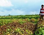Nhiều ruộng khoai lang ở Vĩnh Long bị phun thuốc diệt cỏ phá hoại