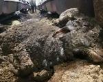 Cừu xuất khẩu bị hành hạ, dân Úc phẫn nộ