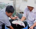 """Nông dân miền Tây trúng đậm nhờ """"lén lút"""" nuôi cá hô"""