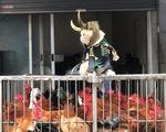 Chú mèo tên Chó hóa siêu anh hùng đi bán gà