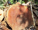 Quảng Nam yêu cầu làm rõ các cơ sở cưa xẻ gỗ có người thân
