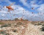 Vì sao châu chấu bay theo đàn?
