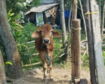 Kỷ luật hàng loạt cán bộ xã liên quan vụ giết thịt bò giống