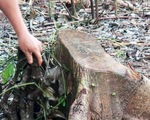 Đồng Nai cảnh báo việc thương lái mua rễ tiêu bán cho Trung Quốc