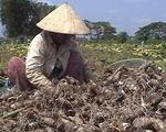 Doanh nghiệp hứa mua khoai môn cho nông dân bằng 40 hợp đồng