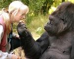 Koko, cô tinh tinh duy nhất biết 2.000 từ tiếng Anh, qua đời