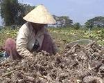"""Người trồng khoai môn điêu đứng vì đối tác Trung Quốc """"xù"""" hợp đồng"""