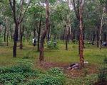 Phát hiện xác chết cháy trong rừng cao su
