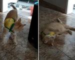 Khi chó mèo biết té và ăn vạ giống Neymar ở World Cup