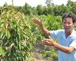 Thấy trồng sầu riêng dễ ăn, nhiều nông dân lại bỏ lúa