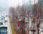 Trồng hàng trăm cây phong lá đỏ trên đường phố Hà Nội