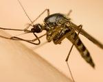 Vì sao có người thường bị muỗi chích, người thì không?