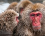 Clip đàn khỉ tuyết đu dây điện né tuyết gây sốt ở Nhật