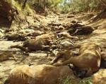 Nắng quá nóng, ngựa hoang ở Úc chết cả bầy như bị thảm sát
