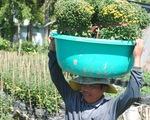 Nông dân trồng cúc mâm xôi Sa Đéc thắng lớn