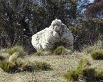 Video: Chú cừu có bộ lông