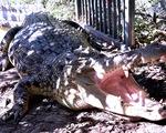 Cả bầy cá sấu từ biển xông lên bờ rượt cắn người