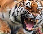 Hổ cười khoe răng nanh được bác sĩ trồng bằng... vàng