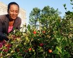 Kể chuyện cây trái miền Tây - Kỳ 7: Chuyện lạ sơ ri Gò Công