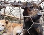 Cấm thịt chó, chính quyền ở Indonesia bảo dân ăn