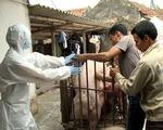 Phát hiện thêm ổ dịch tả lợn châu Phi tại Hải Phòng