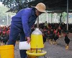 Giá gà tết thấp, thủ phủ gà thả vườn