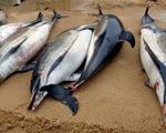 Khủng hoảng sinh thái tại Pháp, 1.100 con cá heo chết chỉ trong 3 tháng