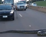 Xe cấp cứu dừng lại chờ... trăn bò qua đường