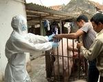 Dịch tả heo châu Phi lan đến Quảng Nam, tiêu hủy 22 con heo