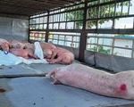 Phó chủ tịch Quảng Nam: Xe chở heo bệnh
