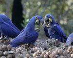 Báo động tội phạm buôn lậu chim quý bằng cách… trộm trứng