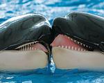 Cá voi sát thủ hôn nhau làm hòa sau cuộc chiến