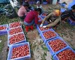 Tuần lễ vải thiều Lục Ngạn tại thủ đô Hà Nội