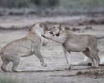 Thót tim ngắm sư tử từ
