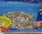 Ngăn kiểu bắt hải sản tận diệt: Ngư dân nghi ngờ lực lượng chức năng