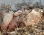 Yêu cầu dừng ngay việc thu tiền dân để tiêu hủy heo bị dịch tả châu Phi
